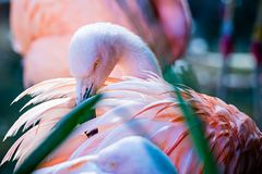 Pink flamingo bird bathing in the sun Royalty Free Stock Photos