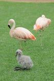 Pink Flamingo Bird on the Floor Stock Images