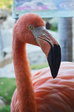 Pink Flamingo Bird Stock Photos