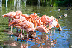 The pink Flamingo bird on the lake in the park Stock Image
