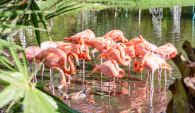 The pink Flamingo bird on the lake in the park Stock Photo