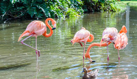 The pink Flamingo bird on the lake in the park Royalty Free Stock Photo