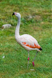 Pink flamingo bird photography watching Royalty Free Stock Photography