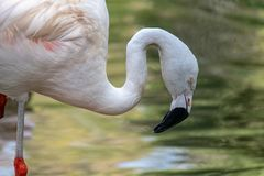 Pink flamingo bird royalty free stock image