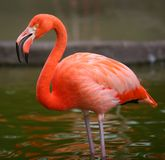 Pink flamingo bird portrait Stock Images