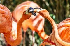 Pink Flamingo Bird Portrait Royalty Free Stock Photography
