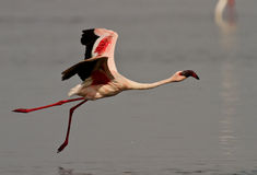 Pink flamingo bird. Side view of a pink flamingo bird about to land on the surface of a lake Stock Photo
