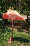 Pink Flamingo. A pink flamingo bird standing on one leg sleeping Royalty Free Stock Image