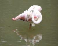 Pink Flamingo Bird Stock Photos