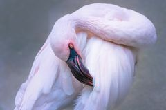 Pink flamingo bird with tilted head stock photo