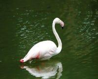 Pink Flamingo Bird Royalty Free Stock Photo