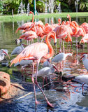 The pink Flamingo bird and the White Ibis on the lake in the par Stock Photography