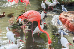 The pink Flamingo bird and the White Ibis on the lake in the par Royalty Free Stock Photos
