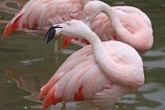 Pink Flamingo Birds Royalty Free Stock Photography