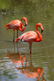 Pink flamingo birds