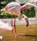 Pink flamingo in a lake Royalty Free Stock Photos