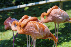 Pink flamingo birds. On a green grass Stock Image