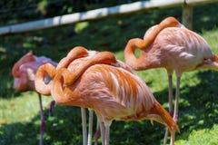 Pink flamingo birds Stock Image