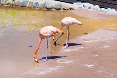 Pink flamingo birds. On a green grass Royalty Free Stock Images