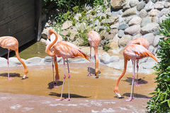 Pink flamingo birds. On a green grass Stock Photography