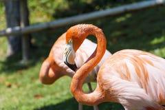 Pink flamingo birds Stock Photos