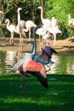 Pink flamingo birds on green grass. Close up Stock Photo