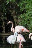 Pink flamingo birds on green grass Stock Image
