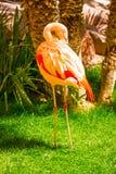 Pink flamingo birds on green grass close up Stock Photography