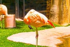Pink flamingo birds on green grass close up Stock Images