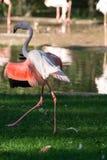 Pink flamingo birds on green grass. Close up Stock Photography