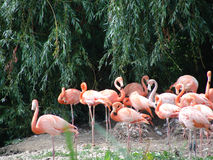 Pink flamingo birds Stock Image
