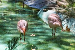 Pink flamingo birds. In the water in the Barcelona zoo Stock Photos