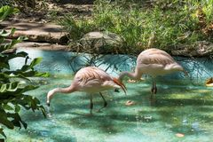 Pink flamingo birds. In the water in the Barcelona zoo Royalty Free Stock Photo