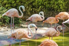 Pink flamingo birds. In the water in the Barcelona zoo Stock Photography