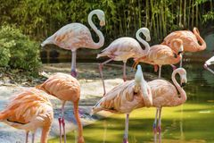 Pink flamingo birds. In the water in the Barcelona zoo Royalty Free Stock Image