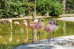 Pink Flamingo Birds. In the water in the Barcelona zoo Stock Image