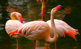 Pink flamingo birds. Relaxing in a garden pond royalty free stock images