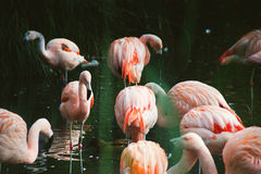 Pink flamingo birds standing in water. Group of pink flamingo birds standing in water Royalty Free Stock Photos