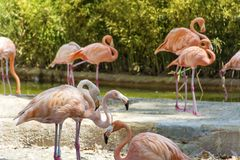Pink flamingo birds. In the water in the Barcelona zoo Royalty Free Stock Photos