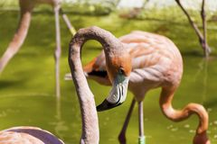 Pink flamingo birds. In the water in the Barcelona zoo Royalty Free Stock Images