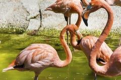 Pink flamingo birds Royalty Free Stock Image
