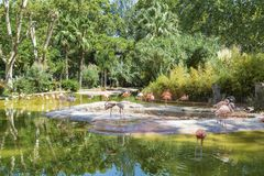 Pink Flamingo Birds. In the water in the Barcelona zoo Royalty Free Stock Photography