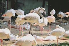 Pink flamingo birds. In zoo Stock Image