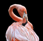 Pink flamingo on black. A colorful flamingo carefully preening its feathers royalty free stock photography