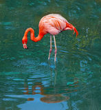 Pink flamingo in blue pool. Single bright pink flamingo in a blue pool with reflections Phoenicopterus ruber Stock Photo