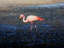 Pink Flamingo Bolivia. Pink Flamingo in the Desert in Bolivia. Taken while on a 4WD tour from Tupiza to Uyuni. (Español: Flamingo en el desierto en Bolivia stock photos