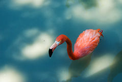 Pink flamingo. Bright pink flamingo standing in water Stock Photography