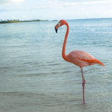 Pink flamingo in the Caribbean sea. Royalty Free Stock Photography
