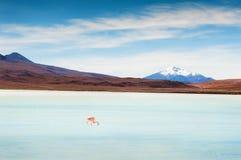 Pink flamingo on the Celeste lagoon, Altiplano, Bolivia. Pink flamingo on the Celeste lagoon, plateau Altiplano, Bolivia Stock Image