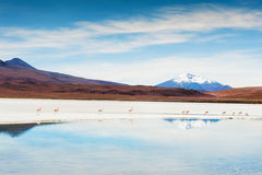 Pink flamingo on the Celeste lagoon, Altiplano, Bolivia Stock Image